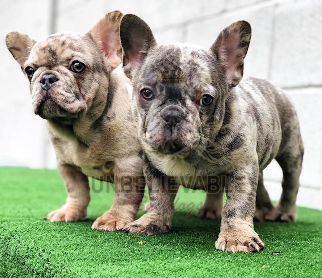 Frenchie Puppies English Bulldog Puppies Bulldog Puppies