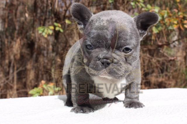 French Bulldog Puppies, English Bulldog Puppies | Atlanta's Best Breeder