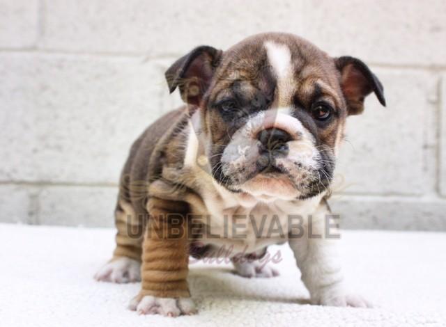 French Bulldog Puppies, English Bulldog Puppies   Atlanta's