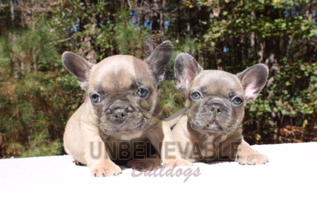 French Bulldog Puppies English Bulldog Puppies Atlanta S Best Breeder