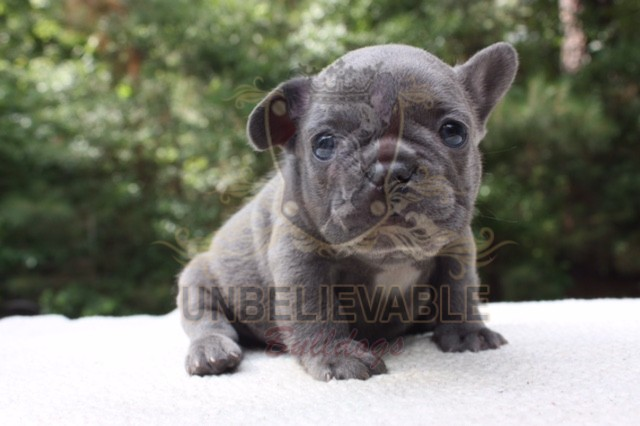 French Bulldog Puppies English Bulldog Puppies Atlantas Best Breeder