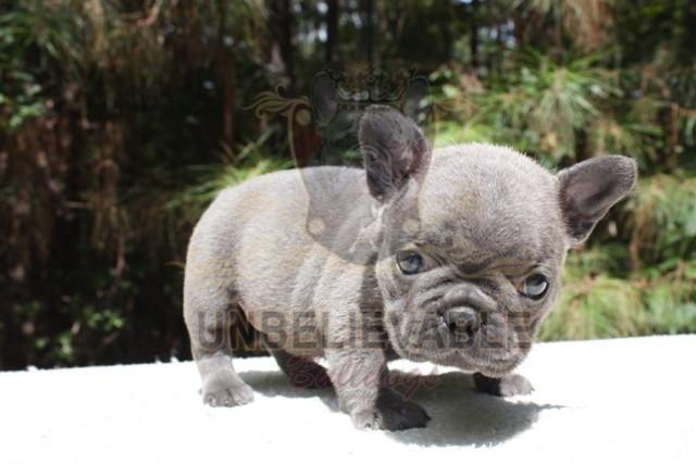 frenchbulldogbooseyliter5