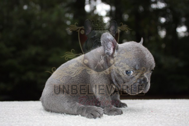 frenchbulldogbooseyliter6