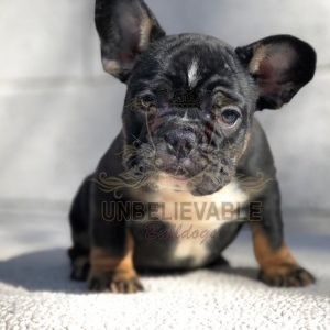 frenchie puppy