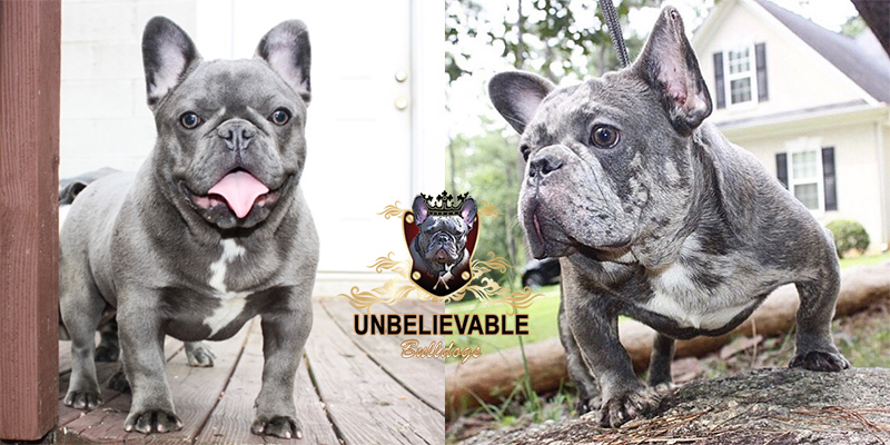 Blue Merle Frenchie Bulldogs from Ox and Bella - Frenchie