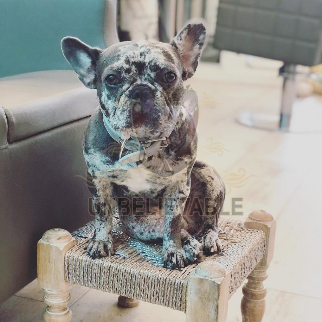Blue Merle Frenchie Bulldogs from Boosie and Grey - Frenchie