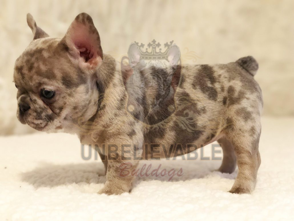 French Bulldog Puppies, English Bulldog Puppies | Atlanta's